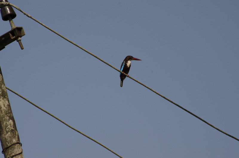 Kingfisher sitting on a wire