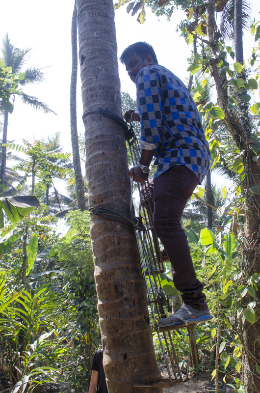 Innovative Palm Climbing Device at the Green Park Spice Plantation, Kumily, India