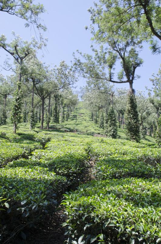 tea plantation, Kumily, India