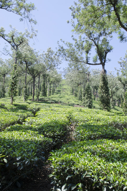 tea plantation, Kumily, India
