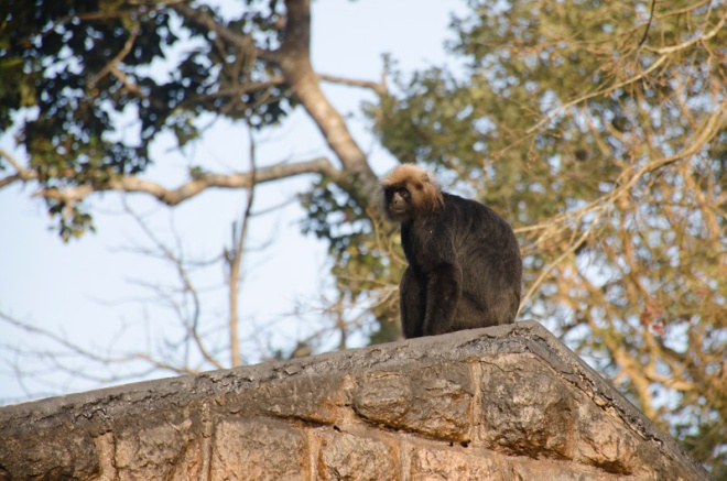 Langur Monkey Catching Morning Sun at Perrier Wildlife Sanctuary